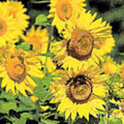 Sunny Sunflowers Print by Diana  Tyson