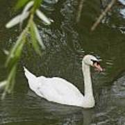 Swan Enjoying A Swim Print by Corinne Elizabeth Cowherd