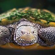 Swimming Turtle Facing Camera Print by Greg Adams Photography