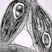 Tem Of Chloroplasts Print by Dr Jeremy Burgess