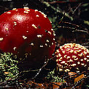 The Introduced Bright Red Fly Agaric Print by Jason Edwards