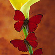 Three Red Butterflies On Calla Lily Print by Garry Gay