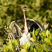 Three Tricolored Heron Egretta Tricolor Print by Tim Laman