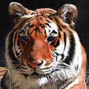 Tiger Blue Eyes Print by Rebecca Margraf