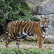 Tigers Glare Print by Brendan Reals
