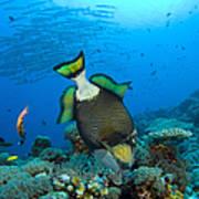 Titan Triggerfish Picking At Coral Print by Steve Jones
