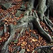 Tree Roots Of A Beech Tree Print by Adrian Bicker