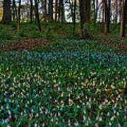 Trout Lilies On Forest Floor Print by Steve Gadomski
