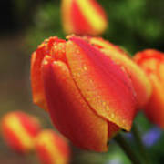 Tulips And Raindrops Print by colorcarnival (Michelle White)