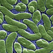 Vibrio Vulnificus Bacteria, Sem Print by Cdc