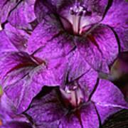 Violet Glads Print by Susan Herber
