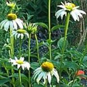 White Daisies And Garden Flowers Print by Thelma Harcum