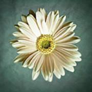 White Daisy Print by Tamyra Ayles