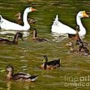 White Geese And Ducks Print by Harry Strharsky