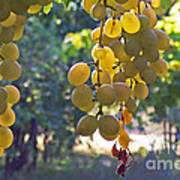 White Grapes Print by Barbara McMahon