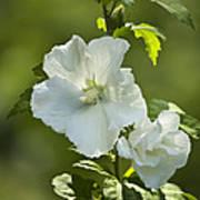 White Rose Of Sharon Print by Teresa Mucha