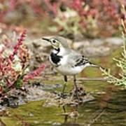 White Wagtail Print by Photostock-israel