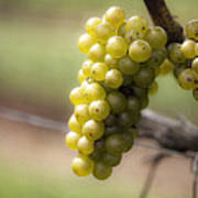 Wine Grapes Print by Leslie Leda