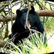 Young Black Bear Print by Will Borden