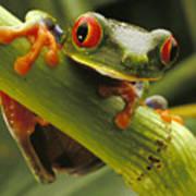 A Red-eyed Tree Frog Agalychnis Print by Steve Winter