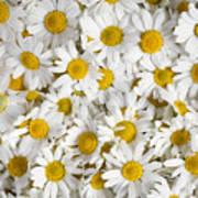 Chamomile Flowers Print by Elena Elisseeva