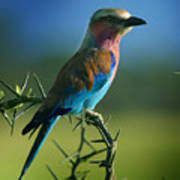 Lilac Breasted Roller Print by Joseph G Holland