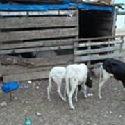 Reality Bites Goats Print by Fania Simon