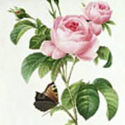 Rosa Centifolia Print by Pierre Joseph Redoute