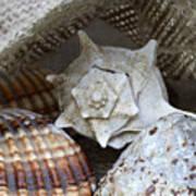 Seashells Print by Frank Tschakert