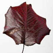 Red Leaf 4 Print by Robert Ullmann