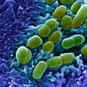 E. Coli Bacteria, Sem Print by Stephanie Schuller