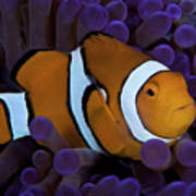 False Ocellaris Clownfish In Its Host Print by Terry Moore