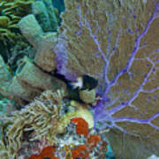 A Bi-color Damselfish Amongst The Coral Print by Terry Moore