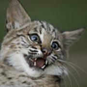 A Bobcat At A Wildlife Rescue Members Print by Joel Sartore