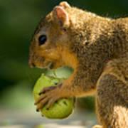A Red Fox Squirrel Chews On A Walnut Print by Joel Sartore