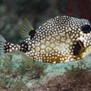 A Spotted Trunkfish, Key Largo, Florida Print by Terry Moore
