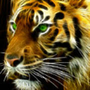 A Tiger's Stare Print by Ricky Barnard