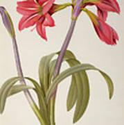 Amaryllis Brasiliensis Print by Pierre Redoute