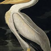 American White Pelican Print by John James Audubon