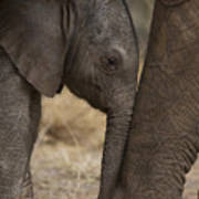 An Elephant Calf Finds Shelter Amid Print by Michael Nichols