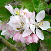 Apple Blossom Print by Joyce Woodhouse