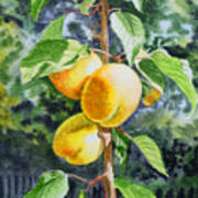 Apricots In The Garden Print by Irina Sztukowski