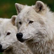 Arctic Wolf Pair Print by Michael Cummings