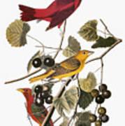 Audubon: Tanager Print by Granger