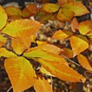 Autumn Beech  Print by Michael Peychich