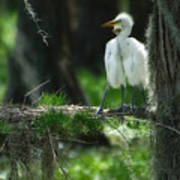 Baby Great Egrets With Nest Print by Rich Leighton