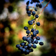 Berry Cold Out Print by Karen M Scovill