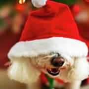 Bichon Frise Dog In Santa Hat At Christmas Print by Nicole Kucera