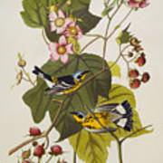 Black And Yellow Warbler Print by John James Audubon