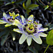 Blue Passion Flower Print by Kelley King